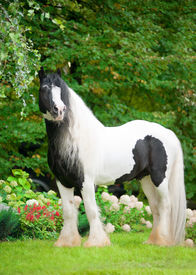 stock photo of workhorses  - the beautiful paint draft horse with long mane - JPG