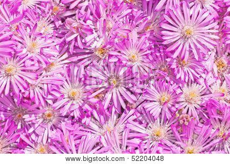 Straw Flower (Helichrysum)