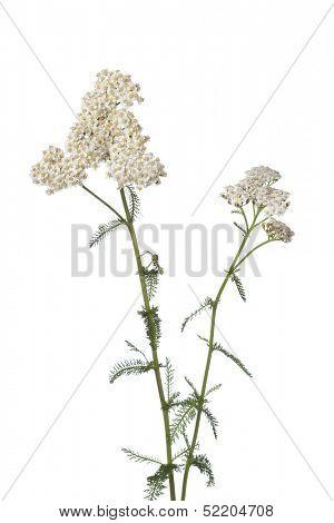 White flowering yarrow