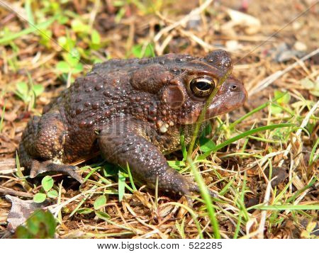 American Toad 02