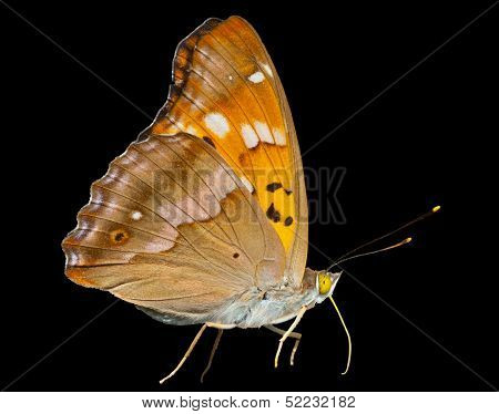 Butterfly (apatura Substituta)