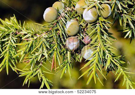Foliage And Berries Of Common Juniper (Juniperus communis)