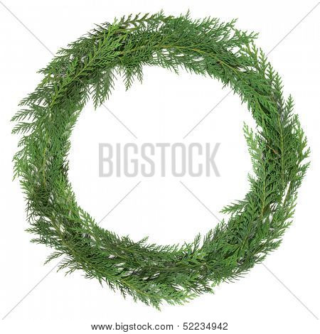 Cedar cypress leaf wreath over white background. Cupressus nootkatensis.