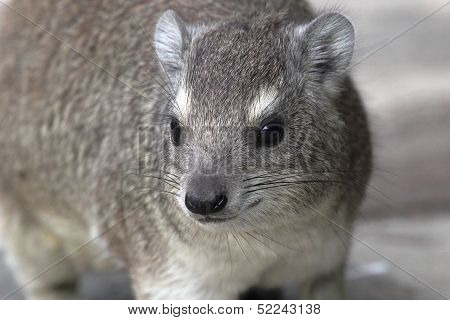 Portrait Of A Rock Hyrax