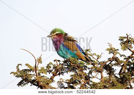 Colorful Lilac-breasted Roller Perched