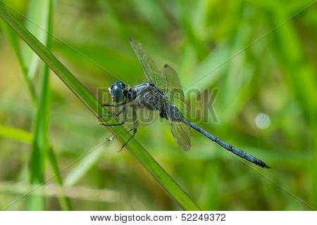 Long Skimmer Dragonfly