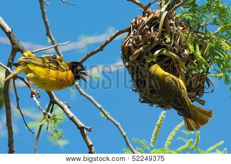 Male Village Weaver Displays While Female Investigates His Handiwork
