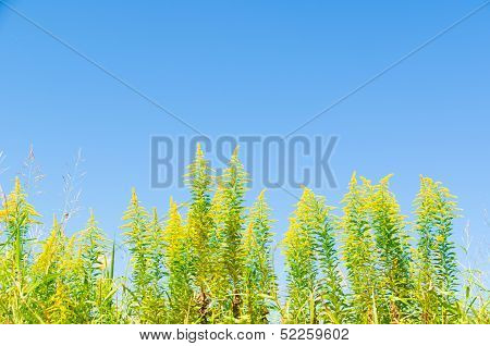 Blue Sky And Goldenrod