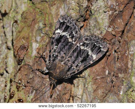 Copper Underwing Moth