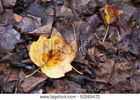 Rotten yellow autumn maple leaves in rain drops