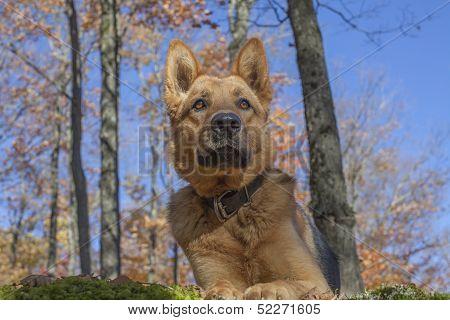 Attentive German shepherd female on a beautiful autumn day