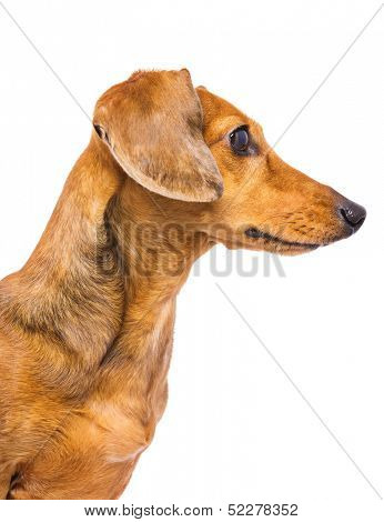 Domestic Dachshund Dog