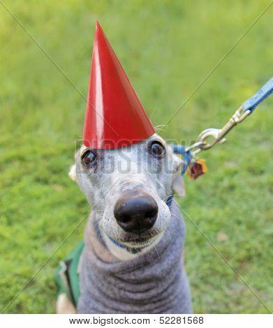 an italian greyhound with a birthday hat on