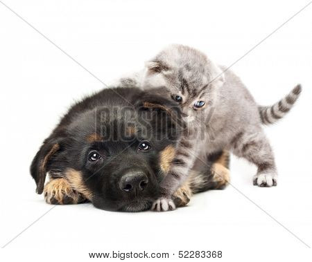 Puppy german shepherd dog and a cat on a white background.