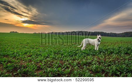 Dogo argentino on the field