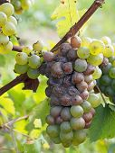 foto of fungus  - noble rot is a beneficial form of a grey fungus botrytis cinerea it produces fine and concentrated wines