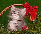 stock photo of puss  - Cute gray kitten with Christmas fir tree - JPG