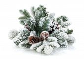 Fir tree branch with cones covered with snow. Isolated on white background