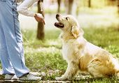 stock photo of fluffy puppy  - Golden Retriever outdoor training process in park - JPG