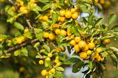 picture of hornet  - Fully loaded branch with yellow Crab Apples Golden Hornet in sunlight - JPG