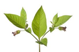 pic of belladonna  - Poisonous Belladonna plant on white background - JPG