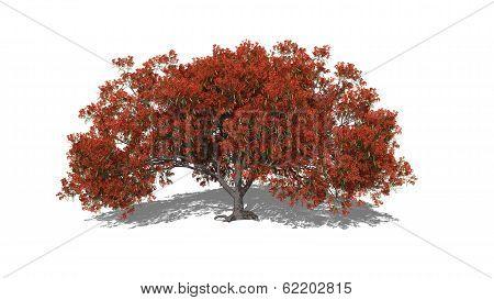 Delonix Regia Spring