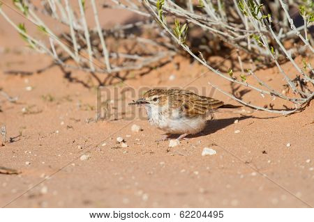 Fawn Coloured Lark Hunting For An Inset In Red Kalahari Sand