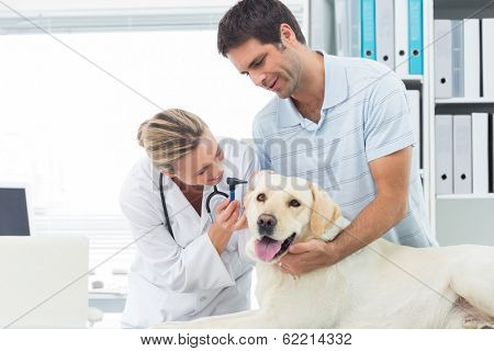 Female veterinarian examining ear of dog with man in clinic