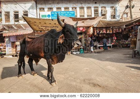 PUSHKAR, INDIA - NOVEMBER 20, 2012: Indian buffalo cow in the street of India. Cow is considered a sacred animal in India and can wander freely around streets