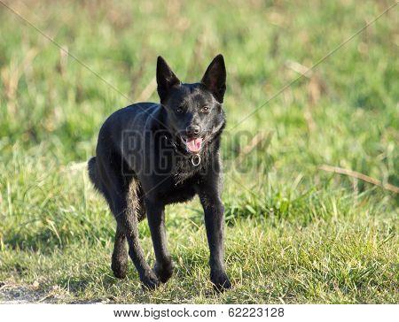 Schipperke black dog