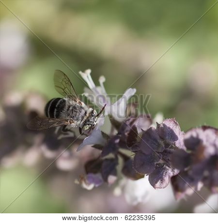 Australian Native Banded Bee