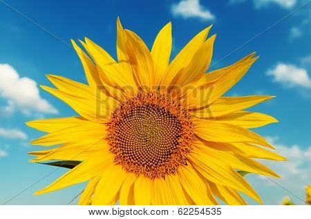 sunflower closeup and blue sky over it