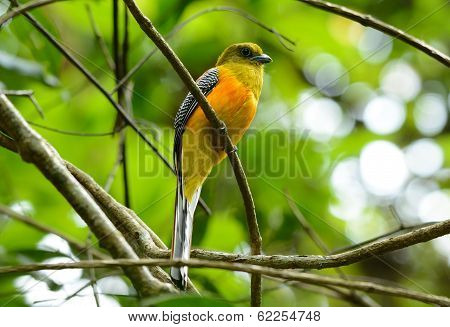 Male Orange-breasted Trogon (harpactes Oreskios)