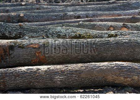 Felled Oak Tree Trunks
