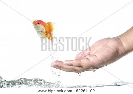 Runaway goldfish a goldfish jumping out of hand :Clipping path included