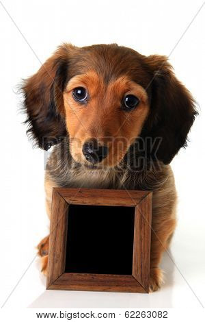 Longhair dachshund puppy isolated on white holding a chalk board sign. Add your own text.