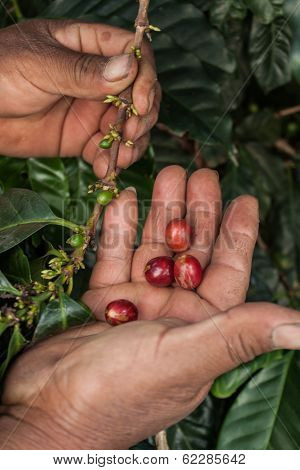 Coffee Beans And Hands Farm Guatemala