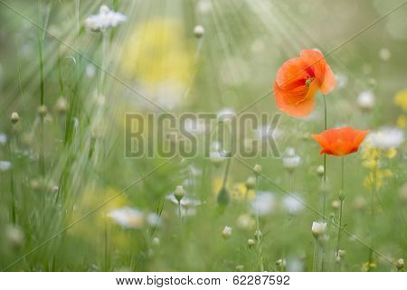 Poppies Flowers With Blurred Background