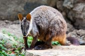 stock photo of wallabies  - A rock wallaby sits on a rock observing its surroundings in Victoria - JPG