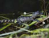 stock photo of alligator baby  - Young Alligator Basking In The Sunlight - JPG