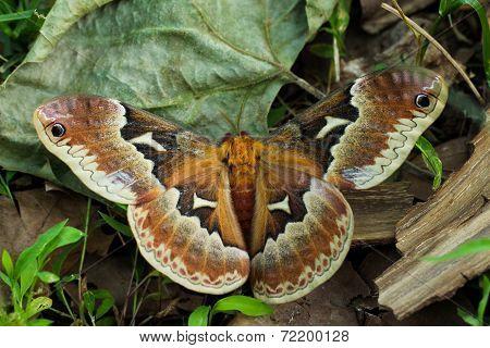 Glover's Silk Moth; Hyalophora Gloveri