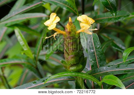 Hop Headed Barleria , Herbal Treatment For Snake And Insects Bite