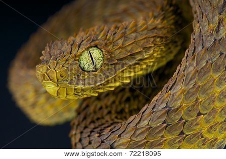Leaf viper / Atheris subocularis