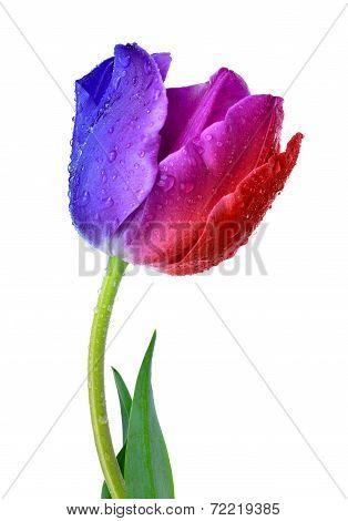 dewy tulip