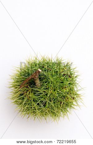 green chestnut bur