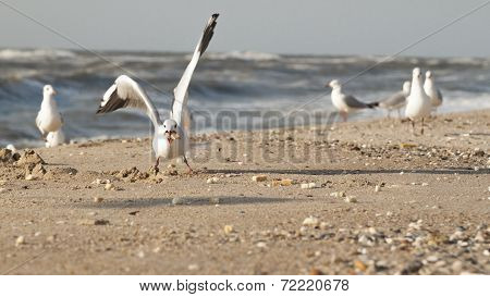 Gull Eating Bread Crumbs