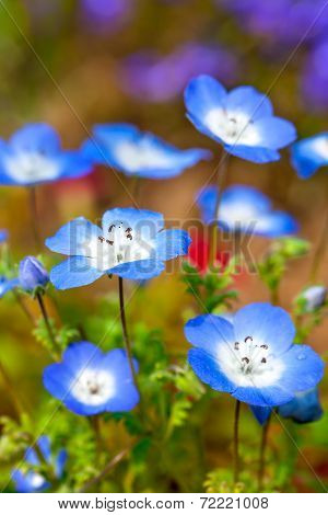 Nemophila Flower Field, Blue Flowers In The Garden