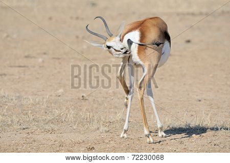Springbok In A Funny Position