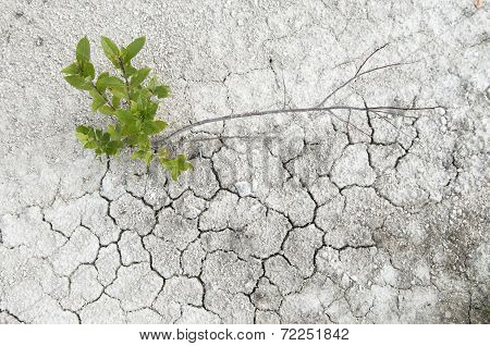 Small Willow On A Limestone Soil