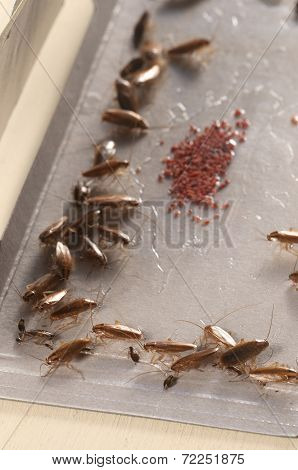 Cockroaches In Glue Trap